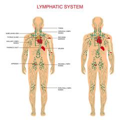 human anatomy, lymphatic system, medical lymph nodes