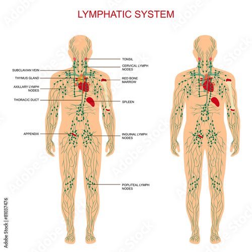 human anatomy, lymphatic system, medical lymph nodes - 81037476