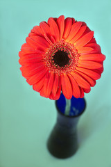 Red gerbera flower in blue vase on blur background top view