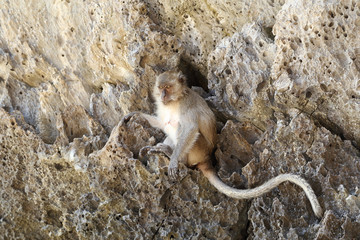 Monkey beach. Crab-eating macaque at Phi-Phi island