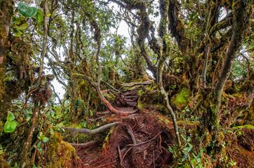 Mossy Forest of Gunung Brinchang, Cameron Highlands Malaysia