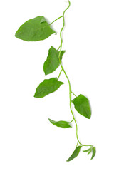 plant creepers on a white background