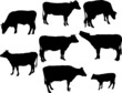 cows and calf bw