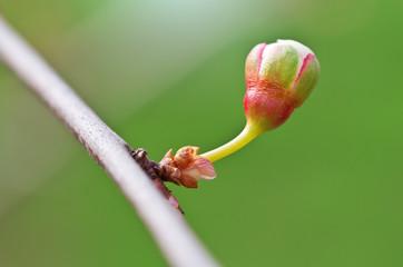 Spring bud