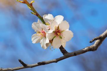 Spring almond