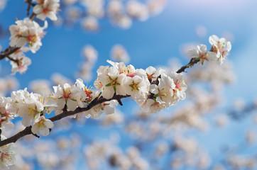 Branch of spring almond