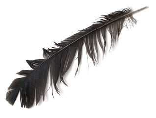 feather of a bird on a white background