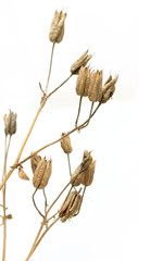dry twigs with flower seeds