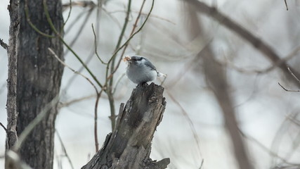 nuthatch perched on a tree