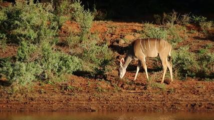 Female kudu antelope, Mokala National Park
