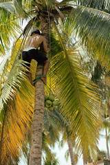 professional climber on coconut treegathering coconuts with rope