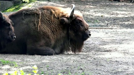 Bison lying on the groud after good dinner at Zoo