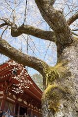 世界遺産醍醐寺の桜