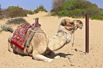 Resting dromedary (Camelus dromedarius) in the sand.