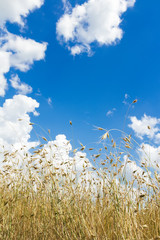 Cumulus clouds on aero sky over ripening oat grain ears