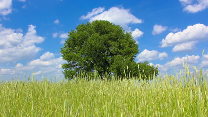 Tree in the wheat field by the sky with puffy clouds background