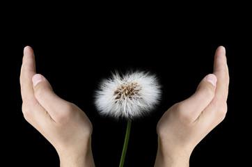 Hands protecting dandelion