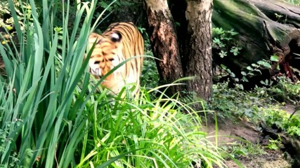 Siberian tiger in the wild