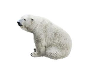 Polar bear sitting,  isolated on a white background