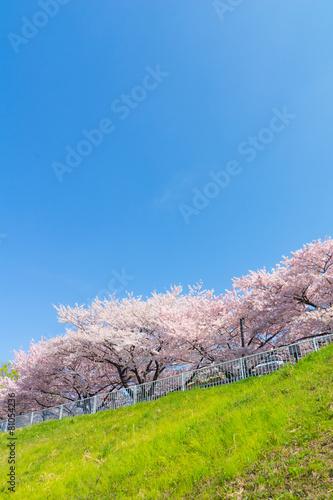 新芝川沿いのワシントン桜