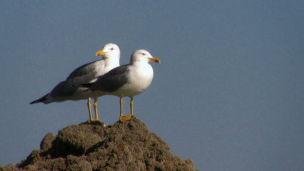 Two seagulls in a rock on blue background