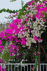 flowering bush white and purple bougainvillea