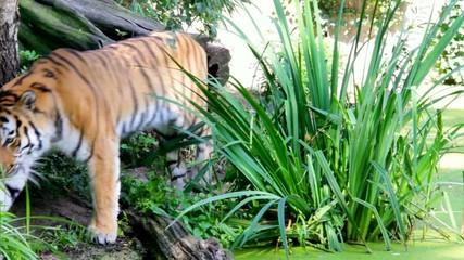 Siberian tiger in the wild