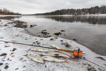 Fly fishing, fish, fishing rod in the snow. grayling