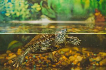 Turtle in an aquarium 2350.