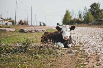 Young bull-calf 2356.