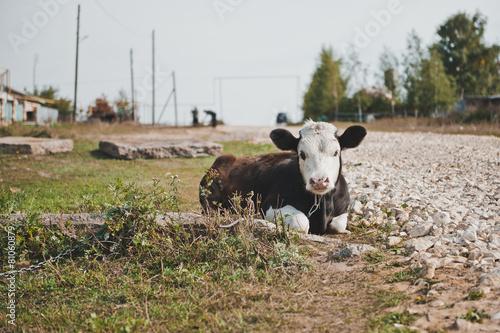 Young bull-calf 2356. Poster