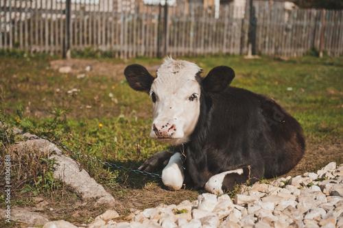 Young bull-calf 2357. Poster