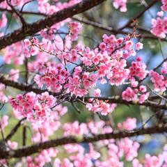 Thai pink sakura blooming in winter agiants Blue sky