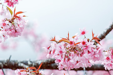 Pink flowers blooming in winter at Doi Pui mountain