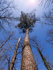 Pinus pinaster, the maritime pine aka cluster pine, view upwards
