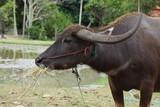 black buffalo eating food in farm