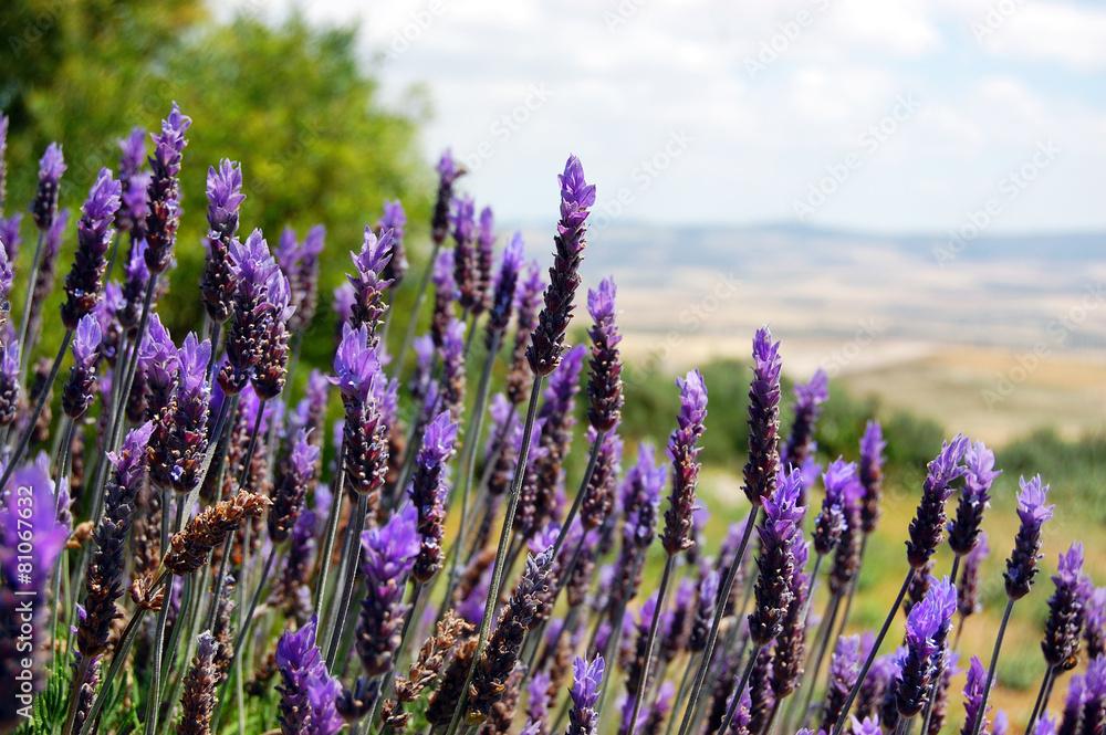 fioletowy dolina pole - powiększenie
