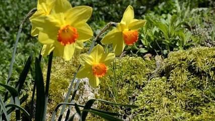 Narcisse, fleurs jaune et oranges, Narcissus