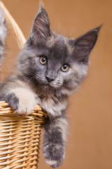 Cute Maine Coon kitten  in a basket