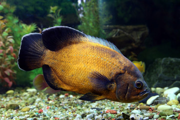 Fish of Astronotus ocellatus close up