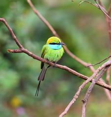 Green Bee-eater bird on branch