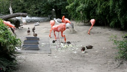 Group of American Flamingo in  Zoo