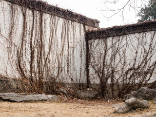 Dried vines on white garden wall