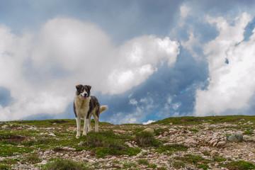Romanian mountain sheperd dog