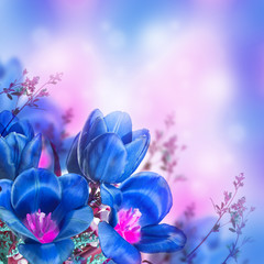Blue tulips with mimosa , spring background