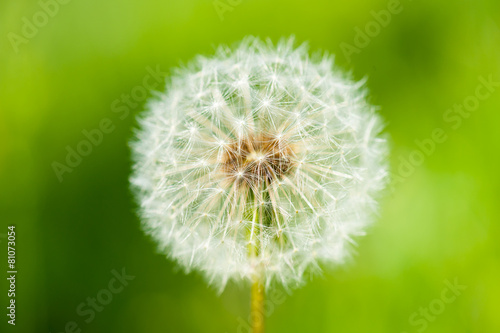 big dandelion © soleg