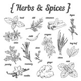 Hand sketched herbs and spices on white background