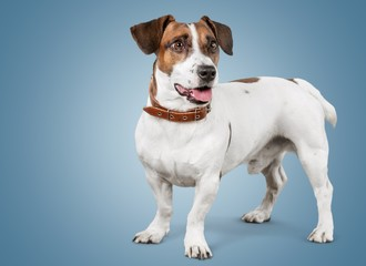 Dog. Dog listening with big ear