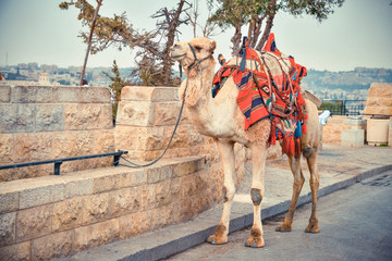 Camel on the road near Old City of Jerusalem