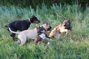 four dogs play in a park